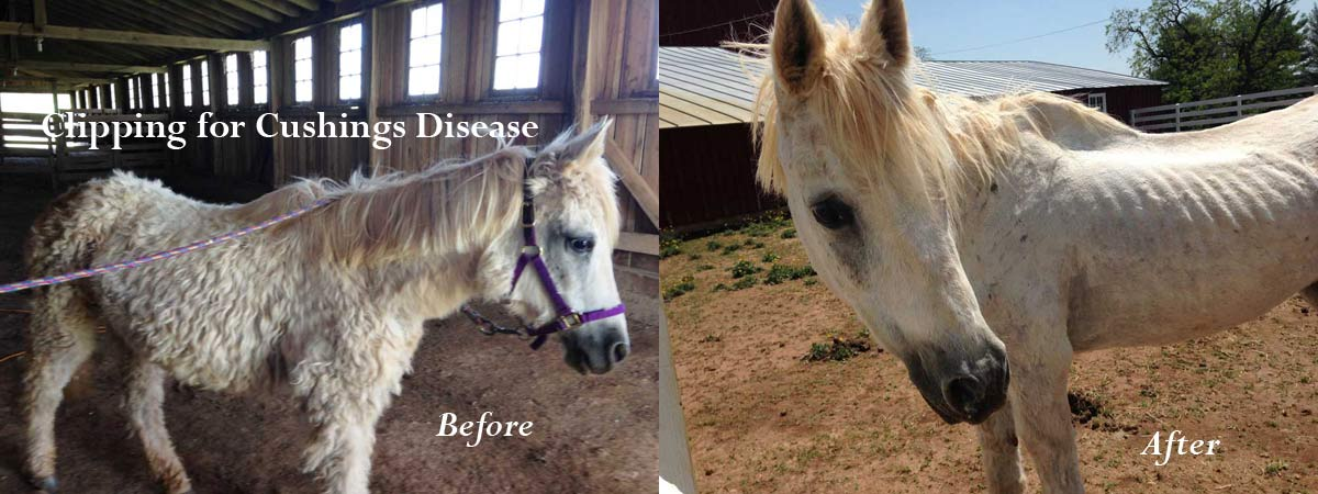 Winter Horse Blankets >> Horse Body Clipping Services   Shroeder Shearing