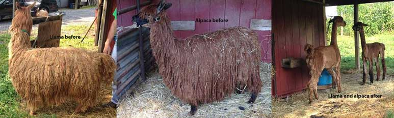 Alpaca and llama - 3 years' growth.