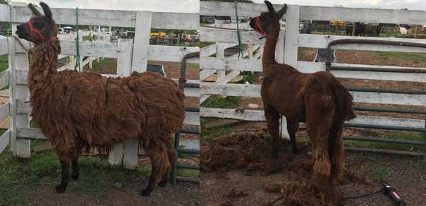 Llama: 5 years' growth.